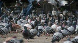 belgrade birds